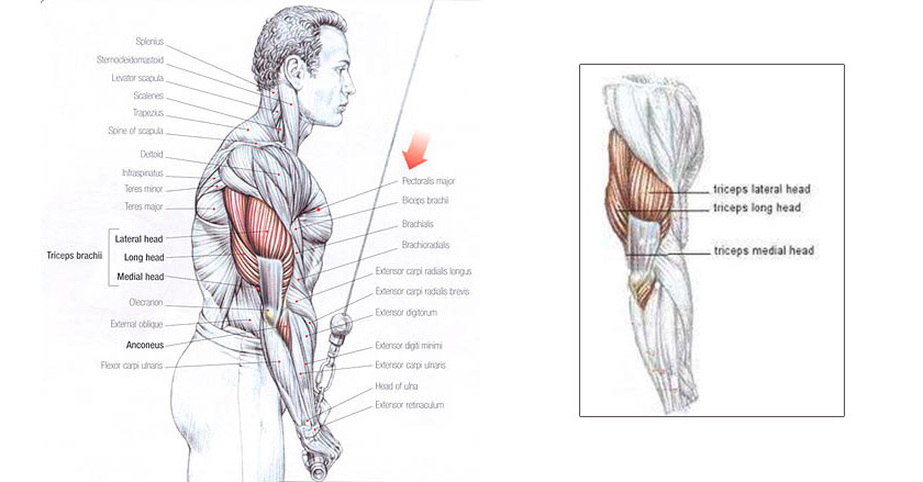 Triceps Pushdow muscle